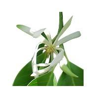 NEW DIRECTIONS AUSTRALIA白兰叶精油